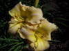 Decatur Supreme Daylily