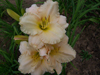 Lullaby Baby Daylily