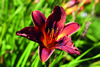 Black Magic Daylily