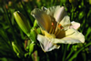 Bone China Daylily