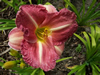 Decatur Jewel Daylily