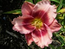 Dragons Eye Daylily