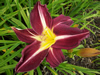 Grape Arbor Daylily