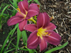 Grape Harvest Daylily