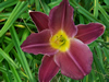 Grape Velvet Daylily