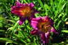Gypsy Sweetheart Daylily