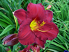 James Marsh Daylily
