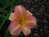 June Melody Daylily