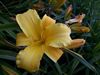 Mary Todd Daylily