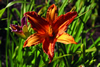 Painted Lady Daylily