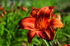 Rocket City Daylily