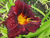 Sir Mordred Daylily